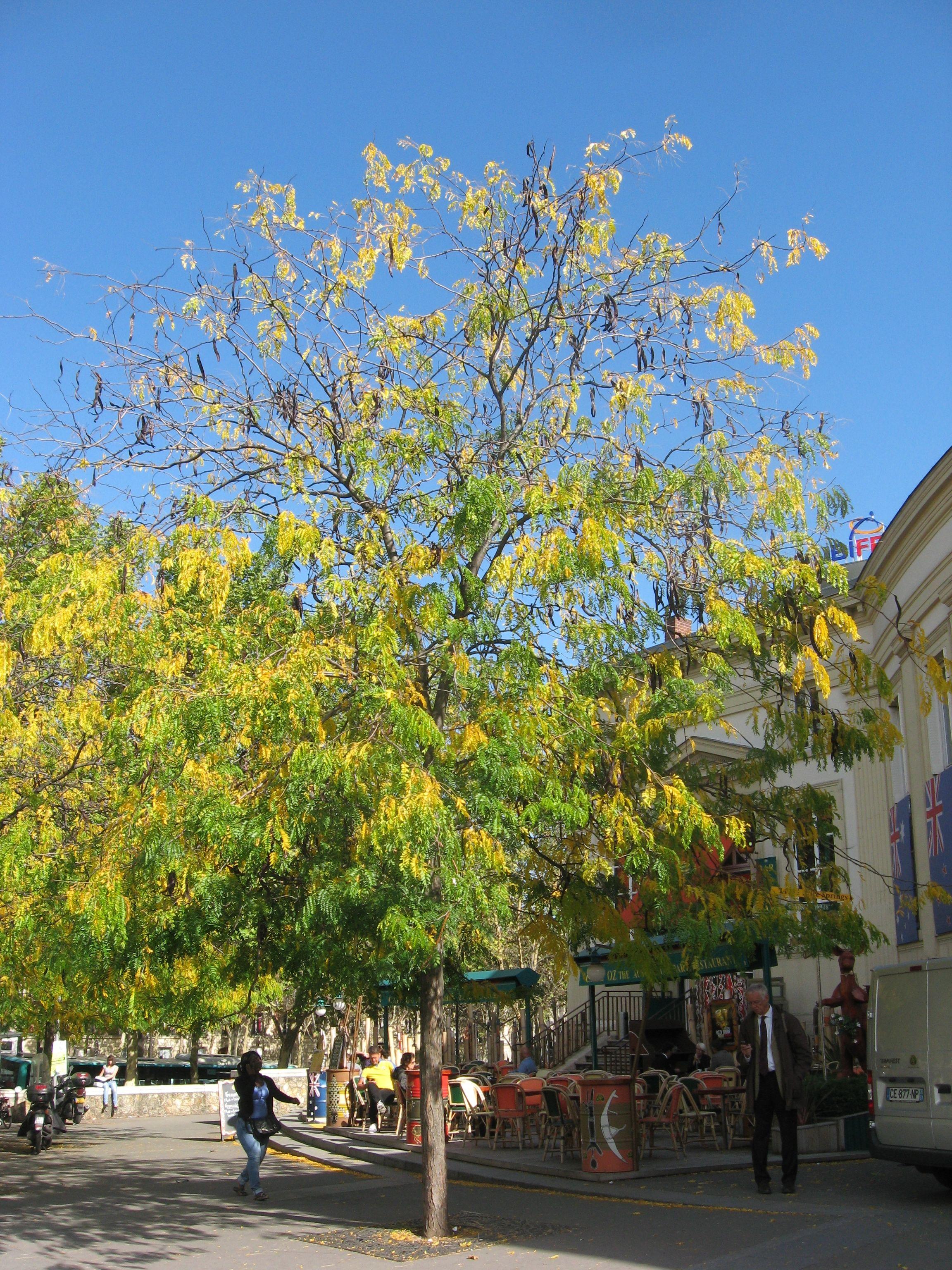 Linden Tree – The Sanguine Root