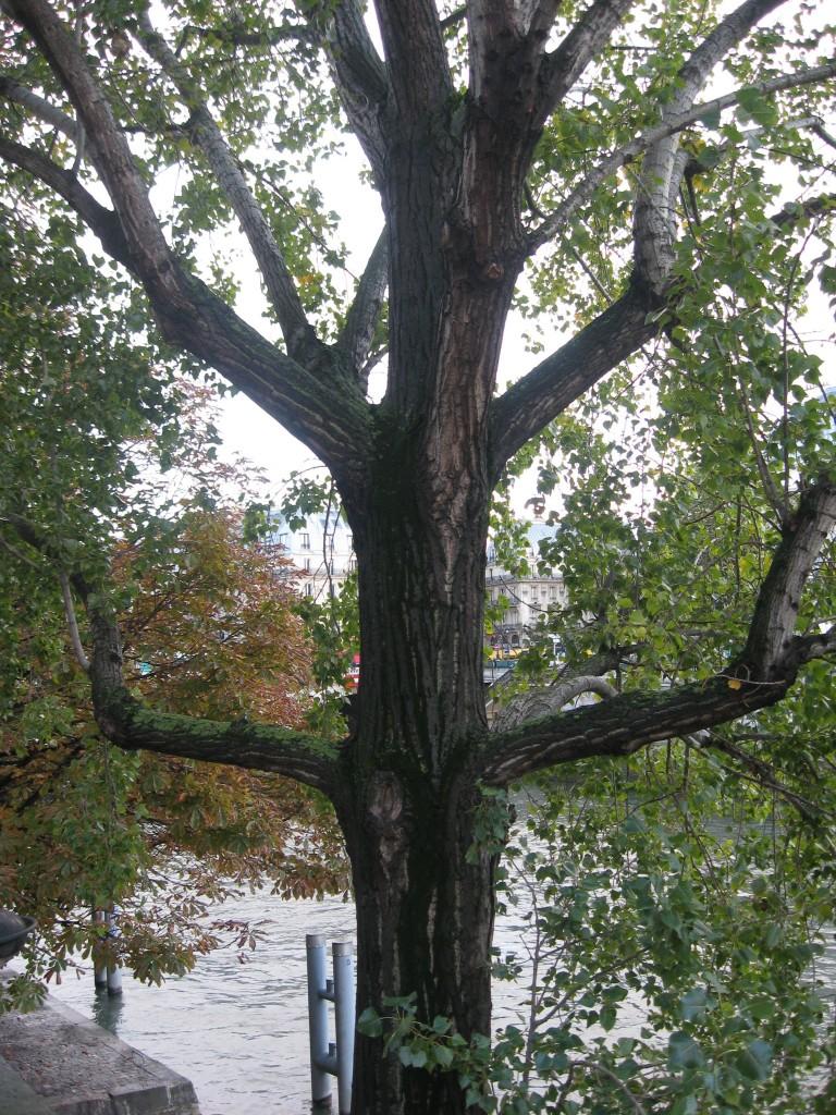Linden tree, Paris, France