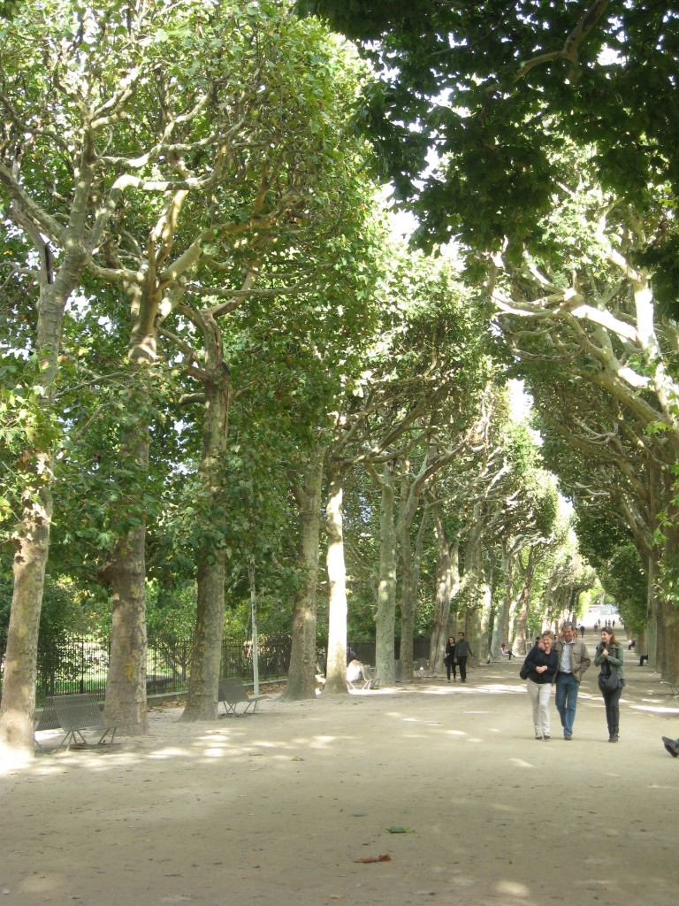 London Plane, Jardin Des Plantes, Paris, France