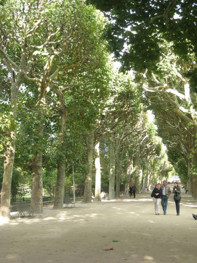 London Plane, Jardin Des Plantes, Paris, France