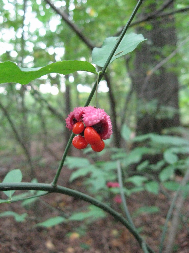 The native Euonymus americana, The Hearts-Bustin' or Strawberry Bush, Wissahickon Valley Park, Philadelphia
