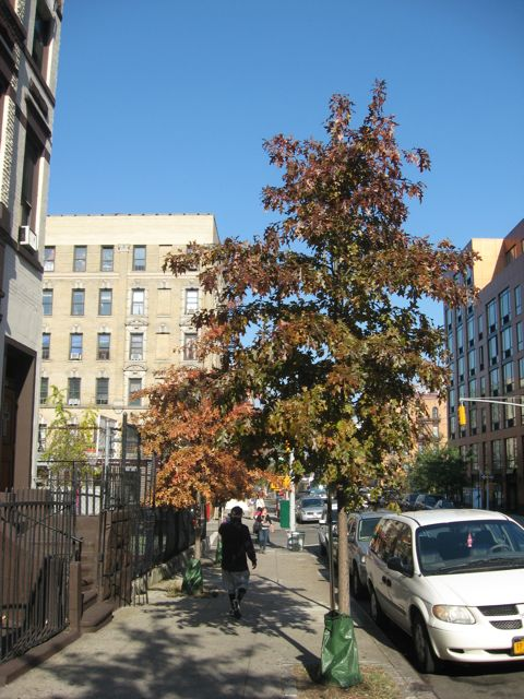 Upper East Side Street Trees, New York City