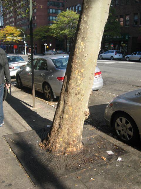 Upper East Side Street Trees, New York City