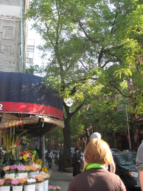 Honey Locust trees, Upper East Side of Manhattan