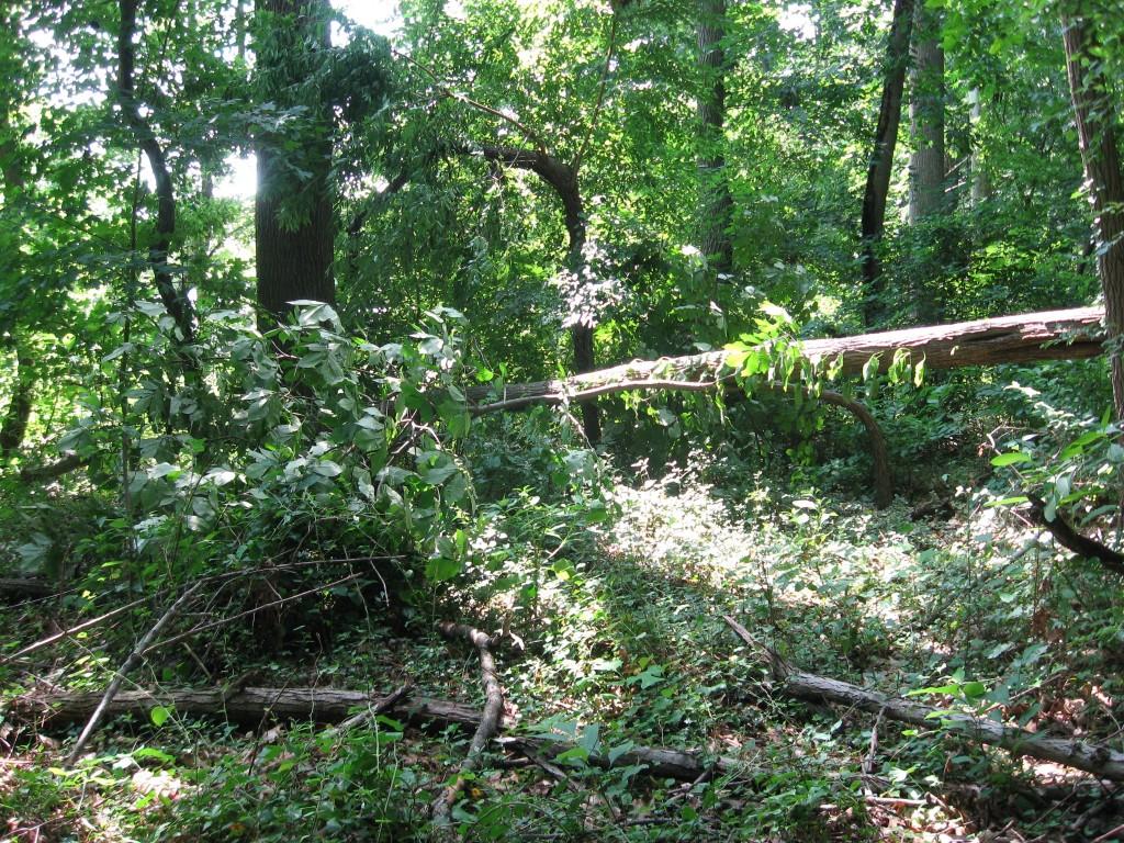 Hickory tree bent under dead Ash