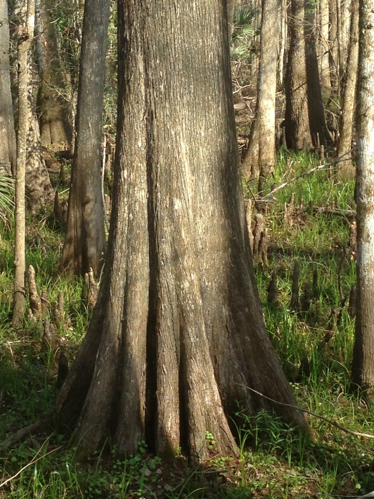 Bald Cypress Bark And Trunk The Sanguine Root