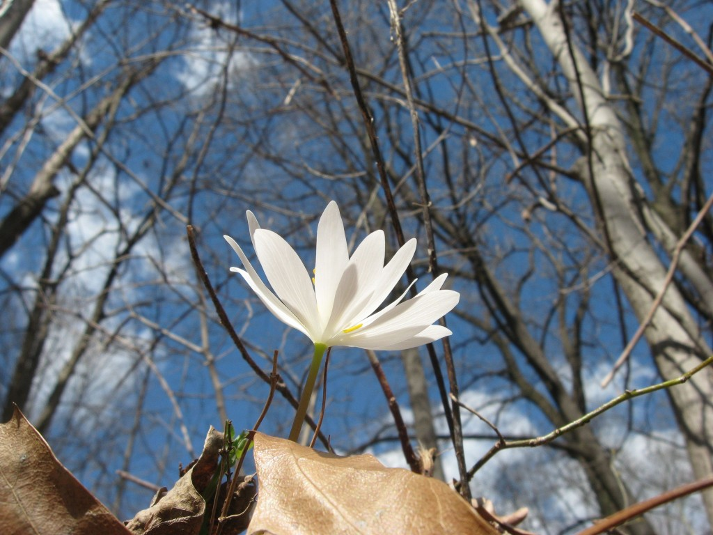 Bloodroot Blooms In Morris Park, Philadelphia. WWW.THESANGUINEROOT.COM