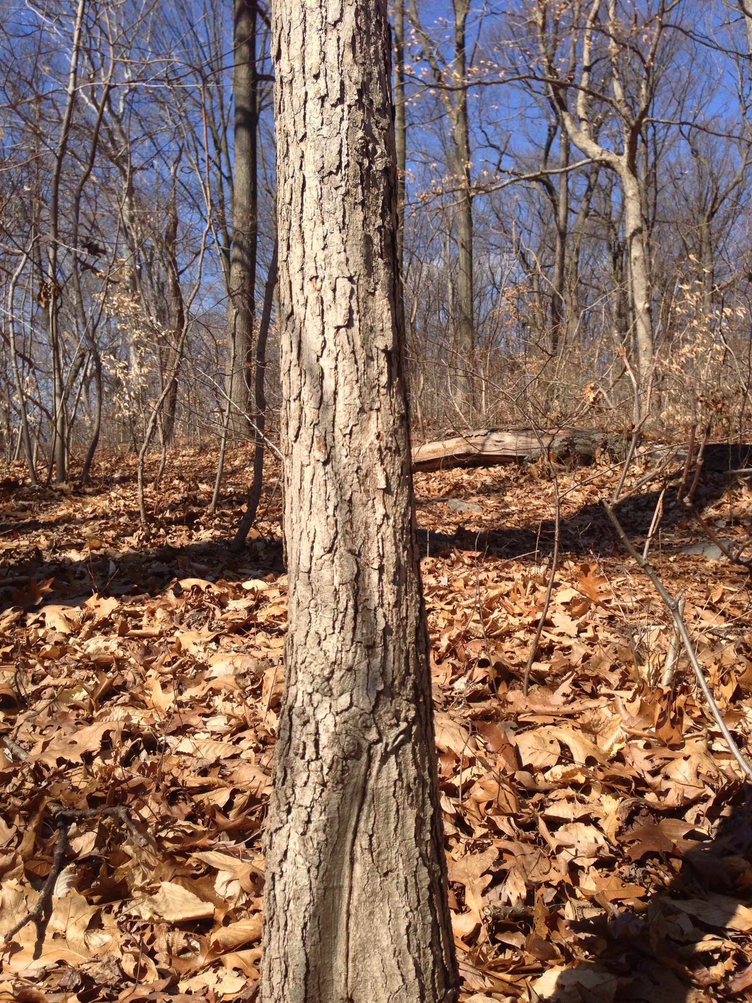 White oak bark and trunk the sanguine root