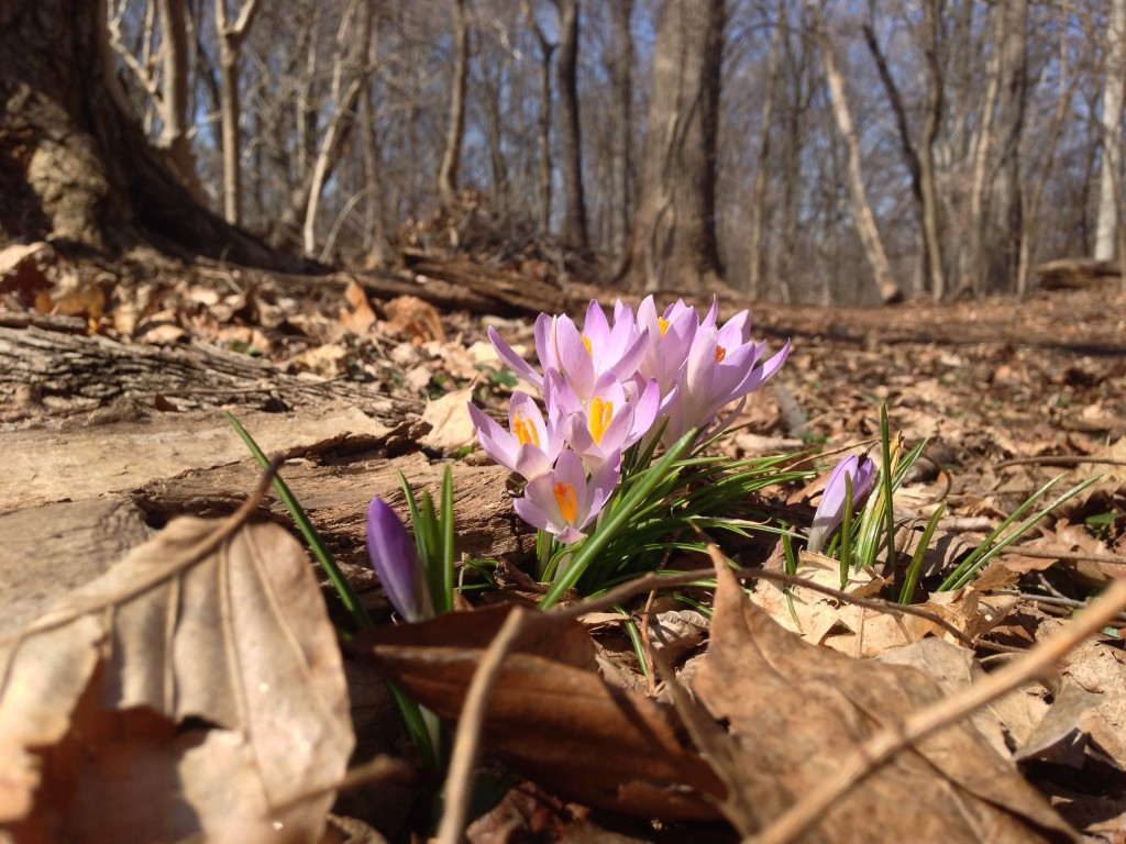 Crocus in Morris Park