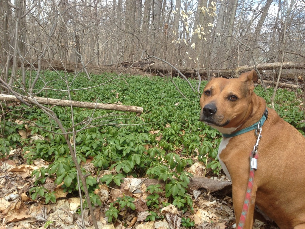 Keeba poses with the invasive Japanese Pachysandra in Morris Park. Pachysandra terminalis is a groundcover common in the yards of the surrounding neighborhoods. It is difficult to eradicate because all of its roots must be pulled up. Photo taken on March 14, 2013.www.thesanguineroot.com