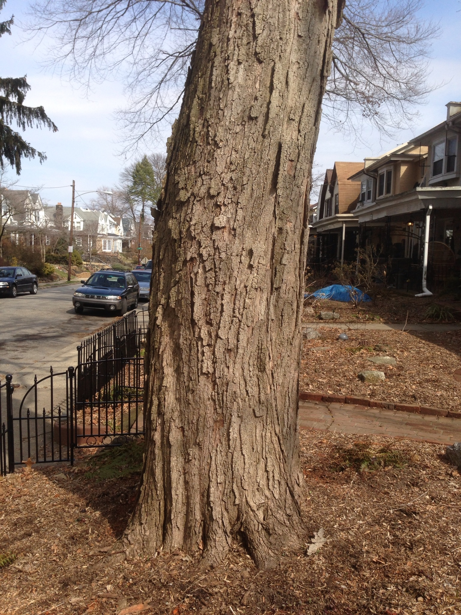 Sugar Maple, Bark and trunk – The Sanguine Root