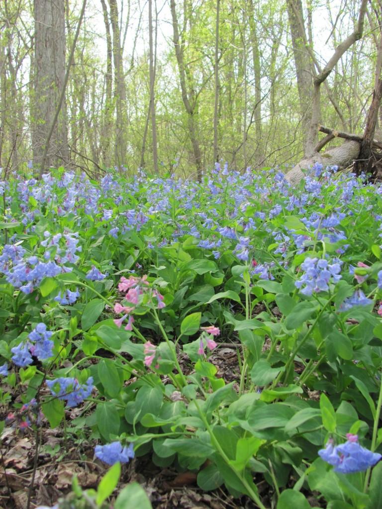 Susquehanna State Park, Maryland.Sunday, April, 21, 2013 www.thesanguineroot.com