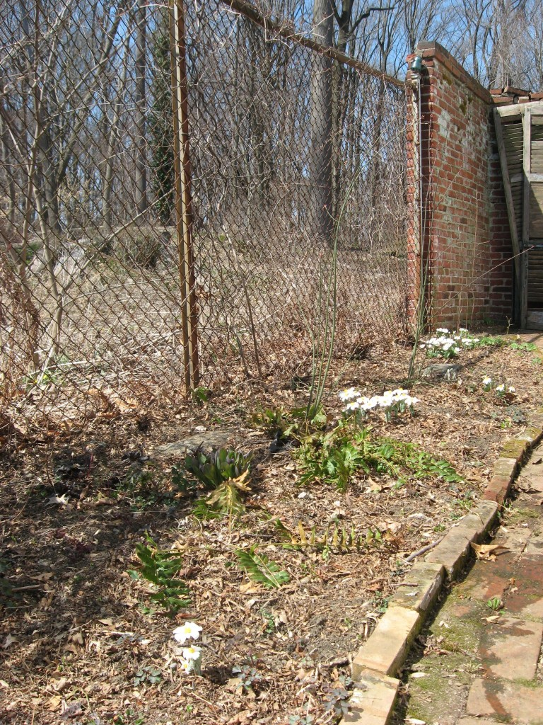 Bloodroot blooms in the yard, Philadelphia Pennsylvania