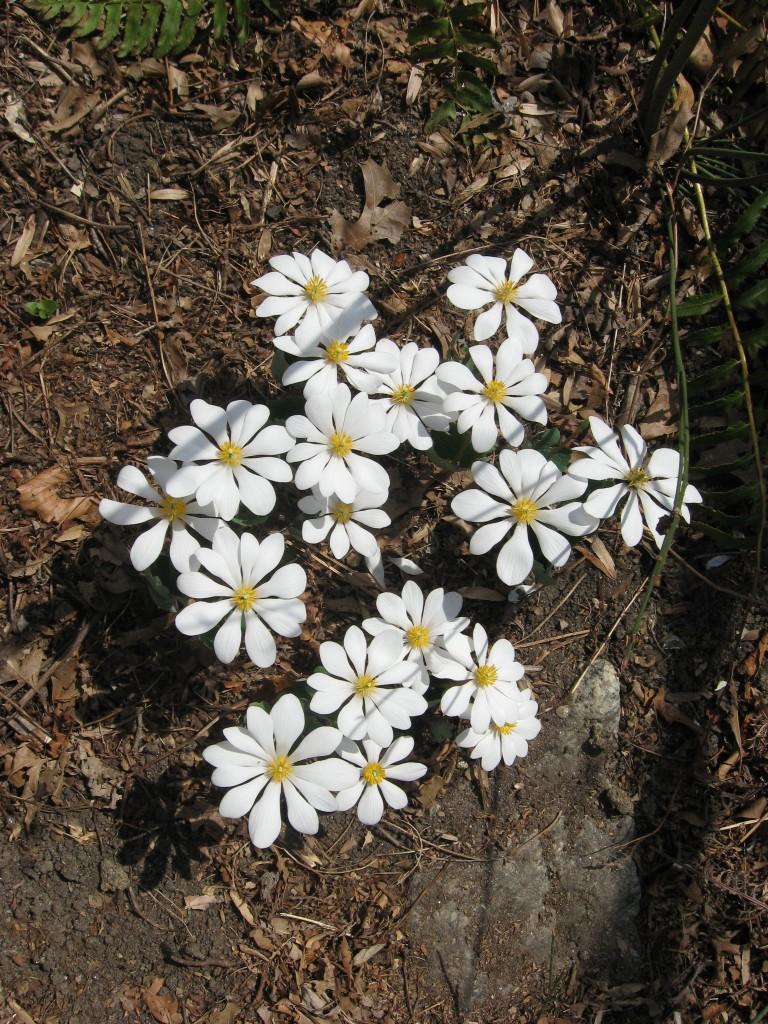 Bloodroot blooms in our native spring wildflower garden. www.thesanguineroot.com