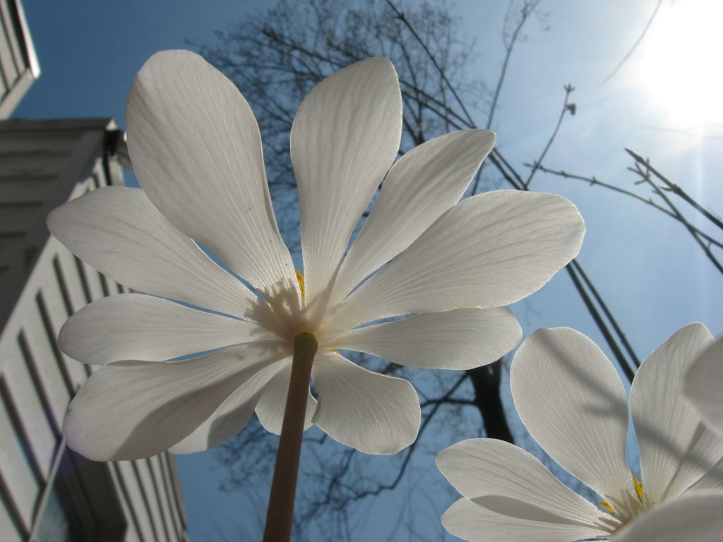 Bloodroot blooms in our native plant spring wildflower garden. www.thesanguineroot.com