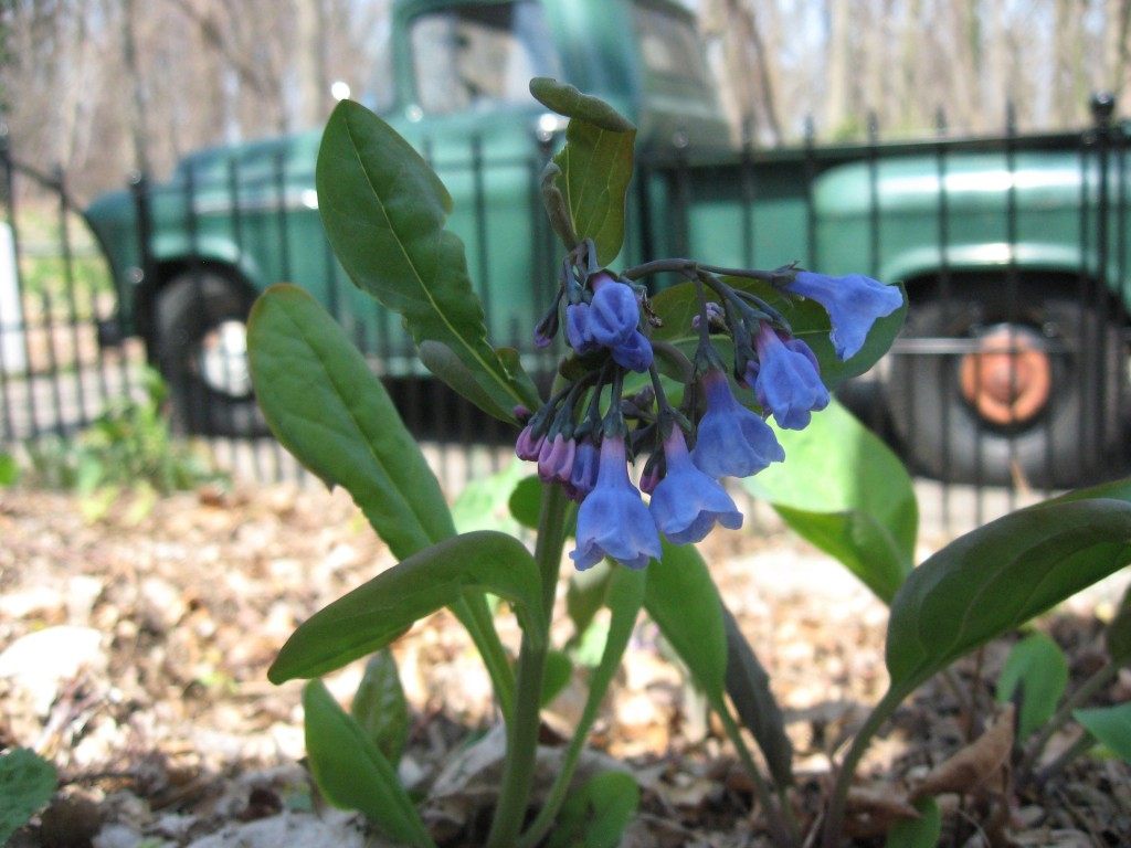 Bluebells bloom with 1956 Chevrolet stepside pickup. www.thesanguineroot.com