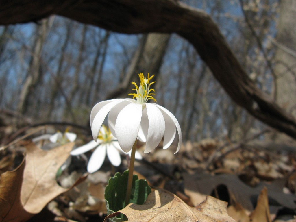 Bloodroot blooms in Morris Park, Philadelphia, Tuesday April 9th, 2013, www.thesanguineroot.com