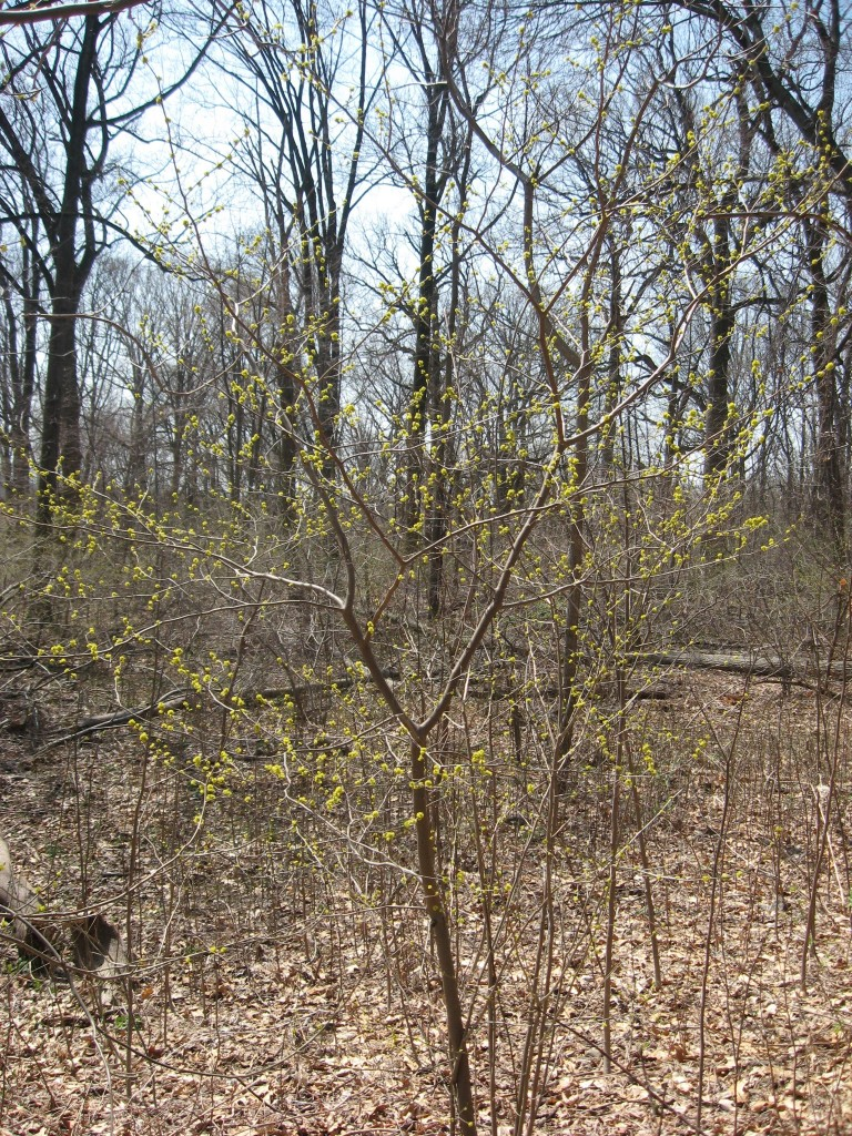 Spicebush blooms and Mayapples emerge from the earth in Morris park. www.thesanguineroot.cm