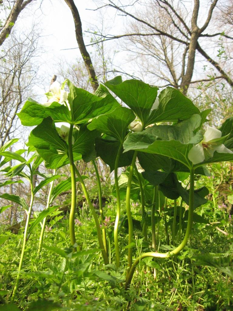 Shenks Ferry Wildflower Preserve, Sunday, April 14, 2013. www.thesanguineroot.com