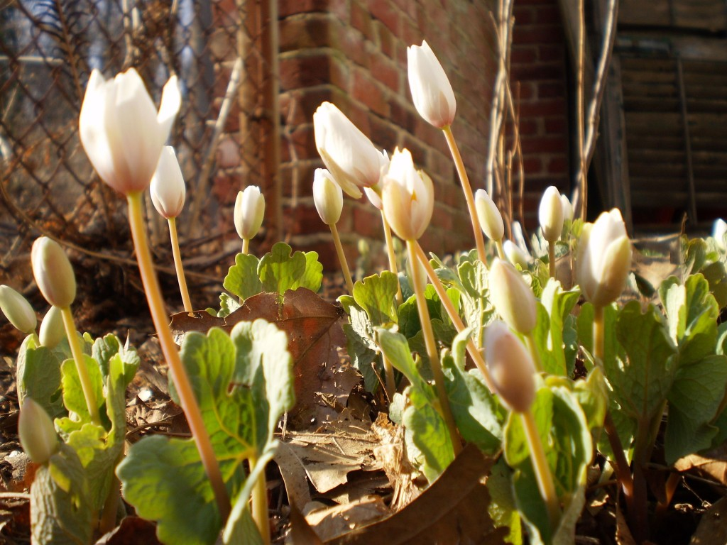 Bloodroot, The Sanguine Root native plant garden, Philadelphia, Pennsylvania