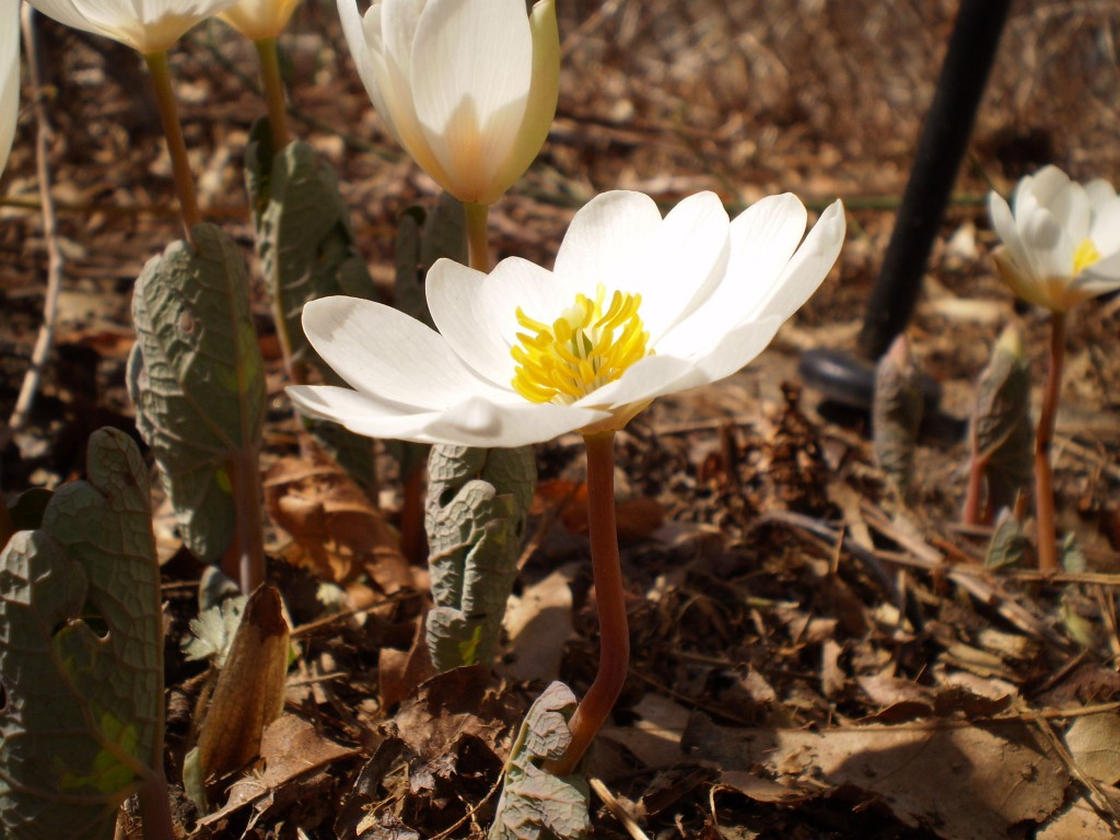 Bloodroot Blooms in our yard