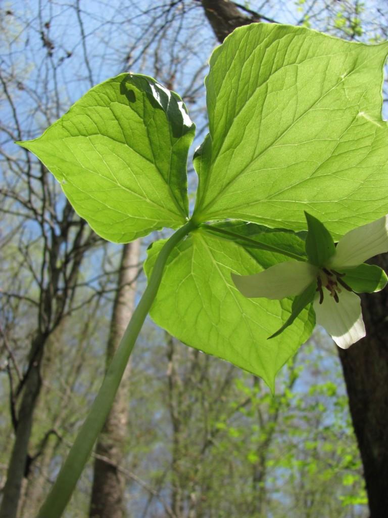 Trillium cernuum, Ferncliff wildflower Preserve
