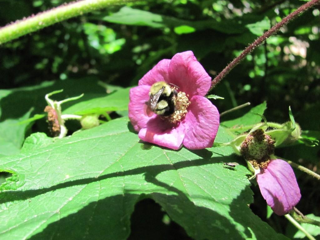 Purple Flowering Rasberry, (Rubus odoratus), Morris Park, Philadelphia, with Bumble Bee. www.thesanguineroot.com
