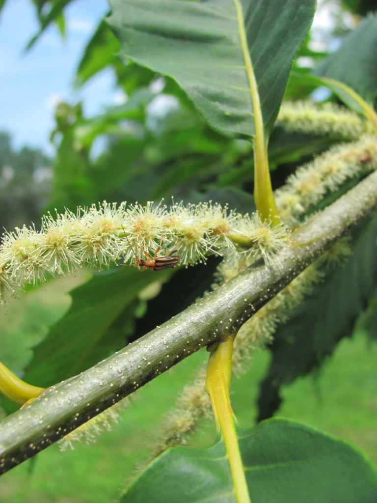 American Chestnut, Leaf, Flower, stems, bark and Pollinators. www.thesanguineroot.com