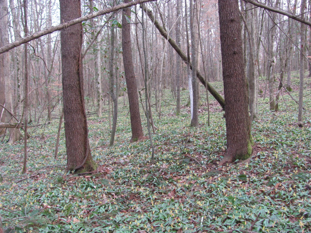 Wolf Creek Trout Lily Preserve  www.thesanguineroot.com