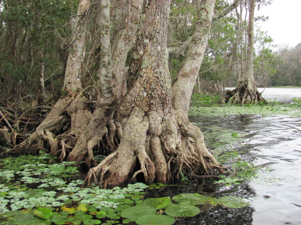 Wacissa River, Florida. www.thesanguineroot.com