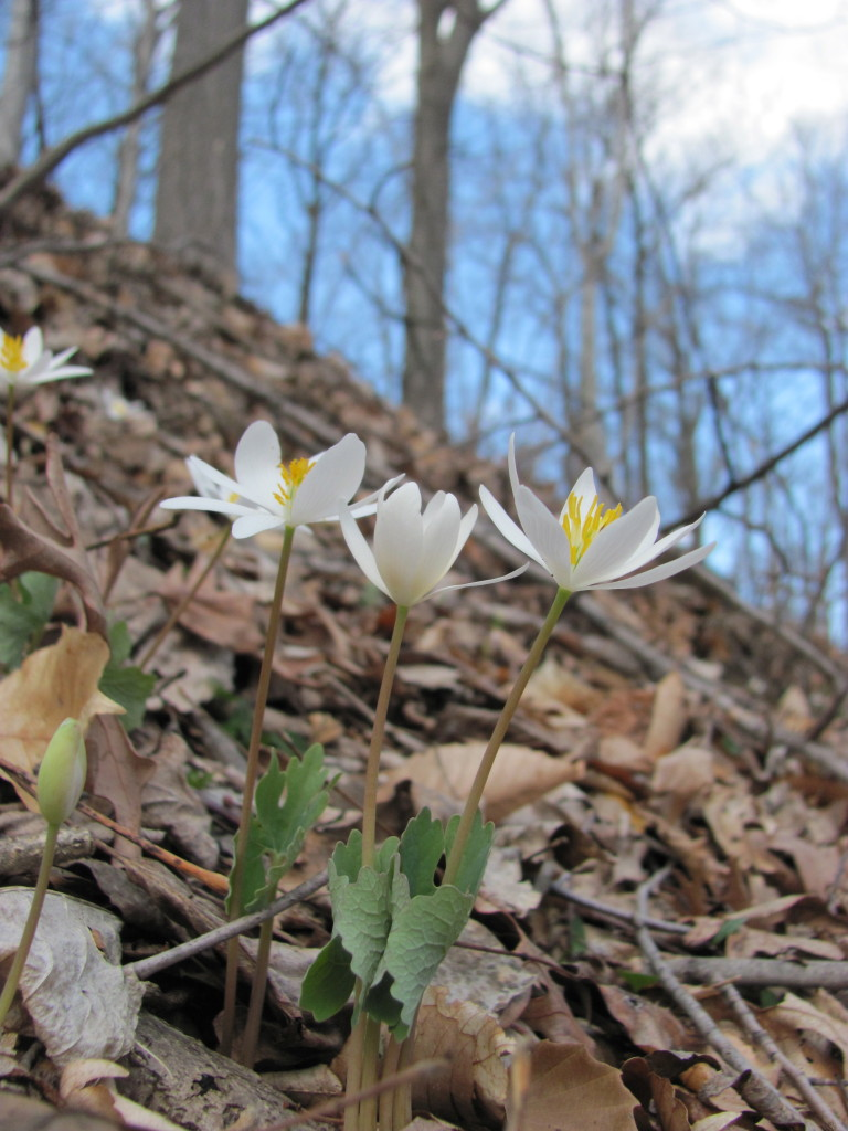Bloodroot blooms in PennyPack Park, Philadelphia, Pennsylvania, April 5th, 2014, www.thesanguineroot.com
