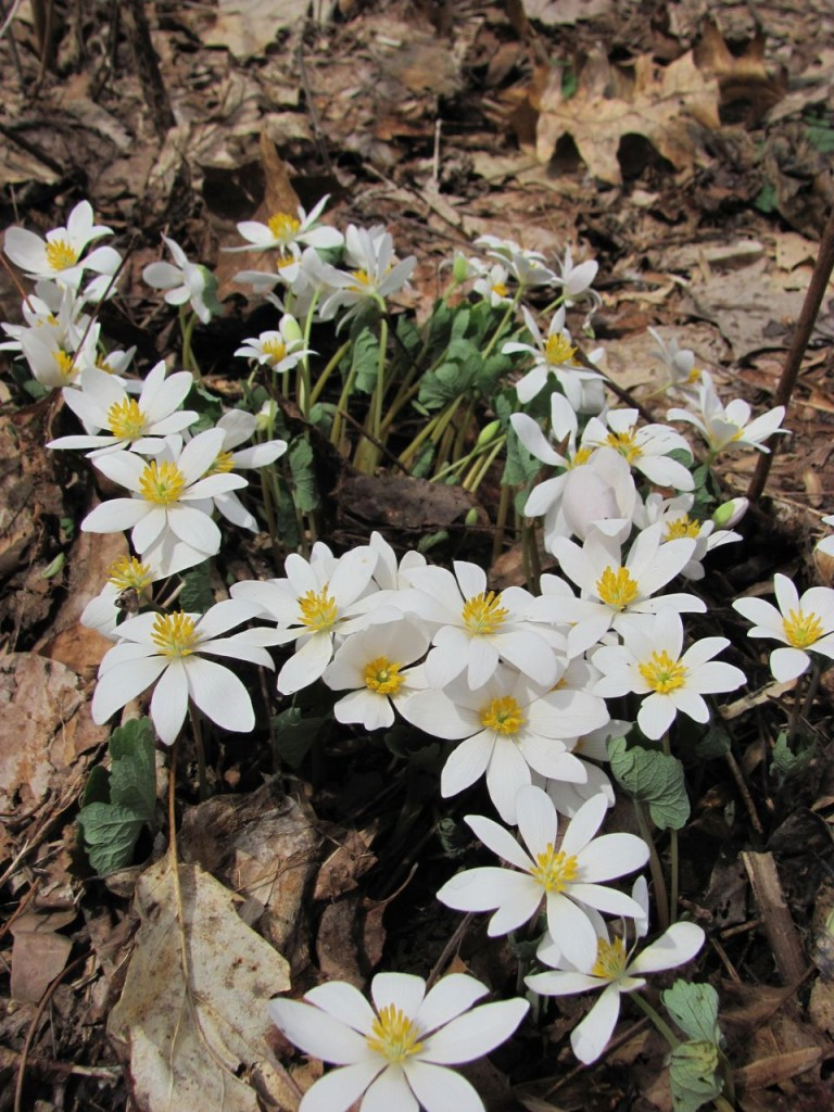 Bloodroot blooms in Morris Park, Philadelphia, April, 8th, 2014.www.thesanguineroot.com