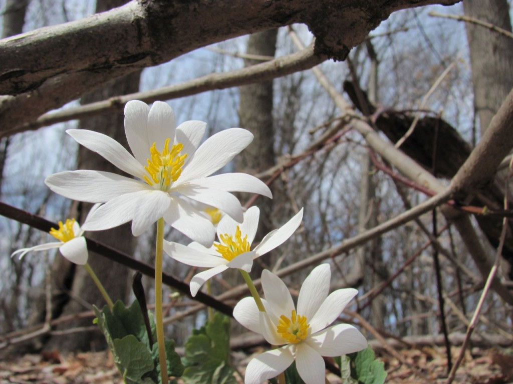 Bloodroot blooms in area once dominated by Multiflora rose and Japanese Honeysuckle. www.thesanguineroot.com