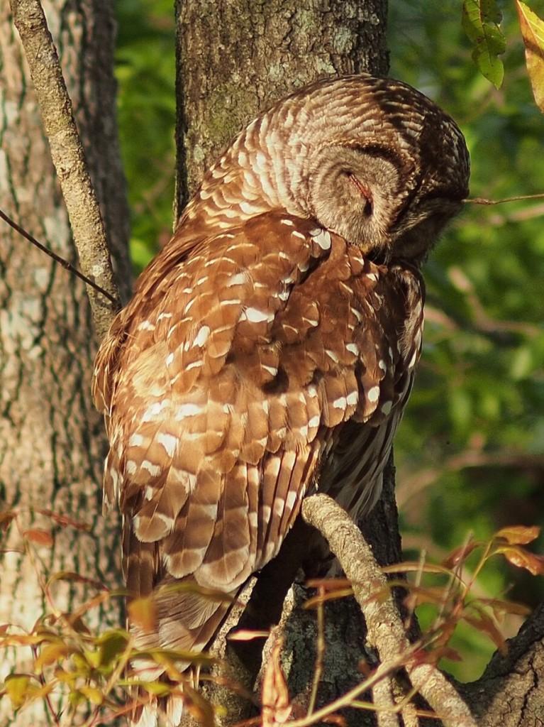 Barred owl, Wacissa River, Florida