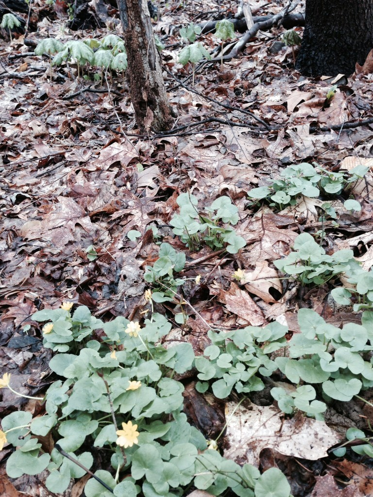 A small patch of Lesser Celandine is removed using a hand shovel.www.thesanguineroot.com
