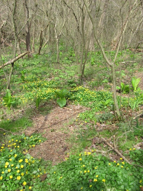 Lesser Celandine threatens floodplain in Tuquan Glen, Lancaster County, Pennsylvania.www.thesanguineroot.com