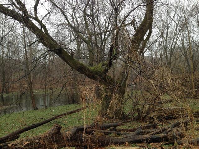 Haddington Woods, Cobbs Creek Park, Philadelphia, Lesser Celandine infestation, www.thesanguineroot.com