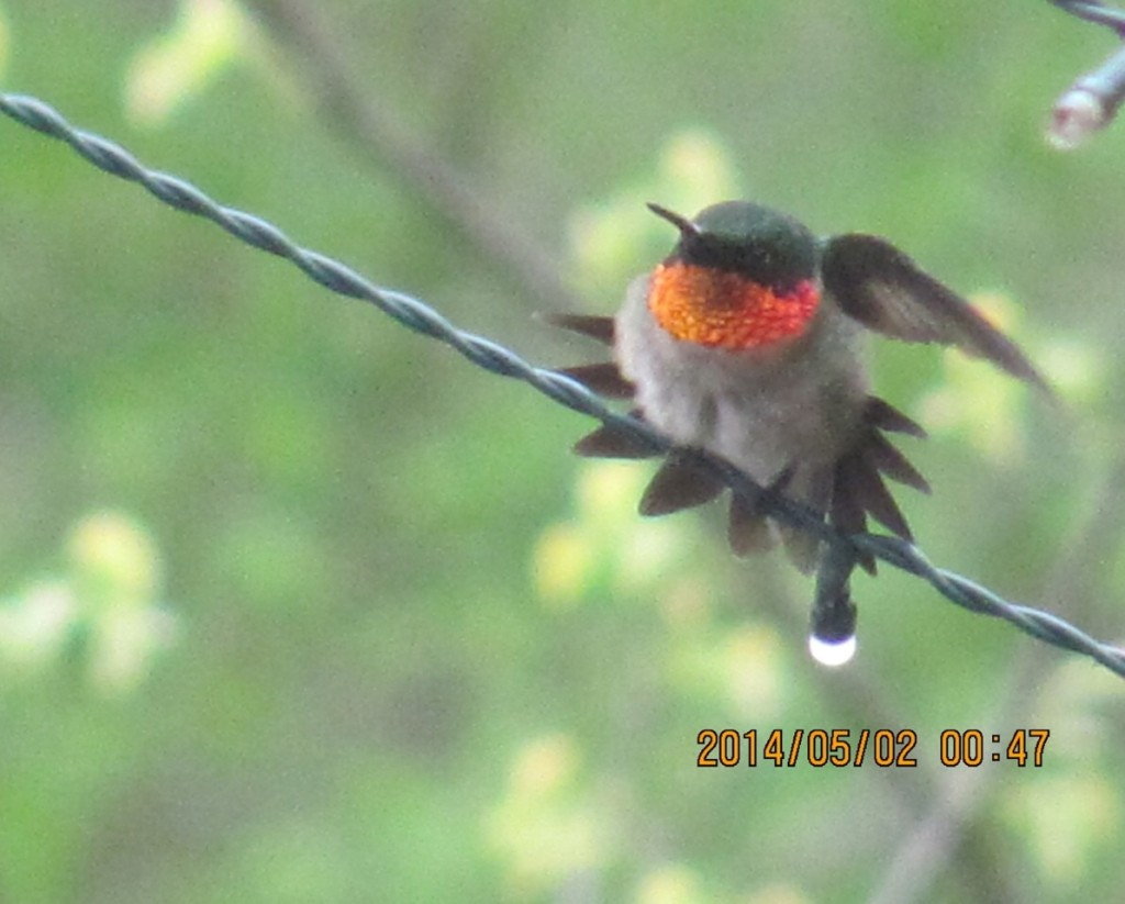 Hummingbirds have arrived in our yard.www.thesanguineroot.com