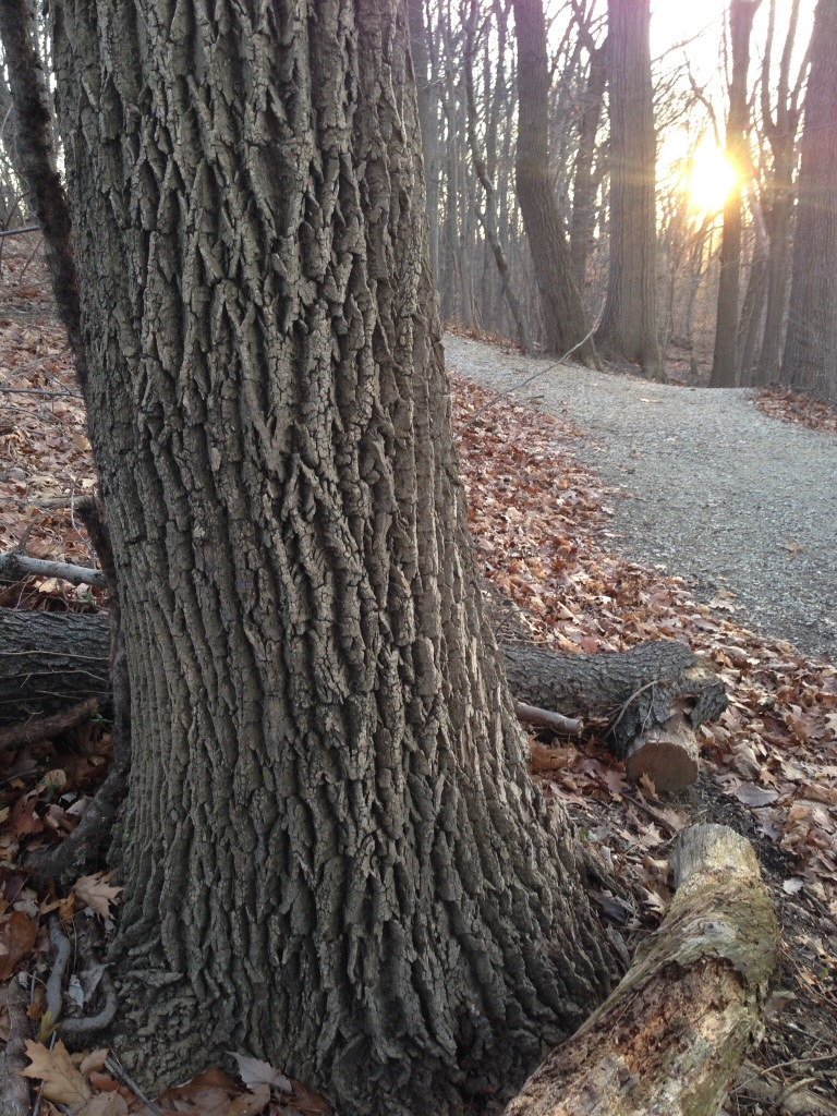 The Ash trees along the Boxers trail in East Fairmount Park, Philadelphia