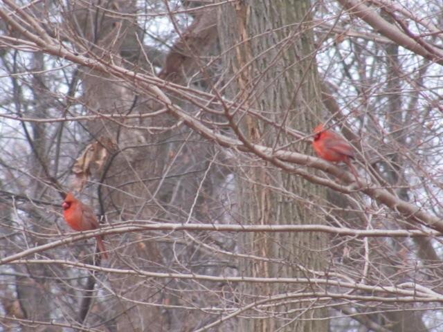 Cardinals in Morris park