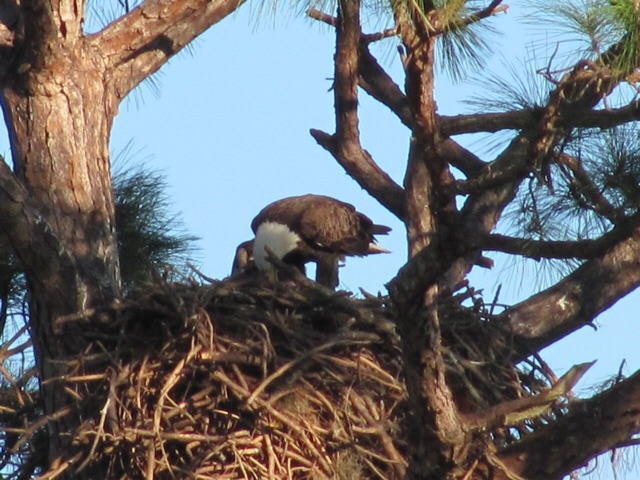 Bald eagle feeds her young in Cedar Key Florida