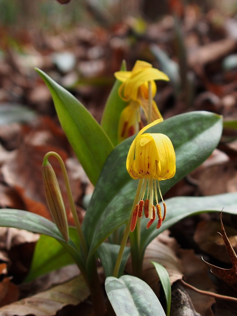 Wolf Creek Trout Lily Preserve February 1, 2015